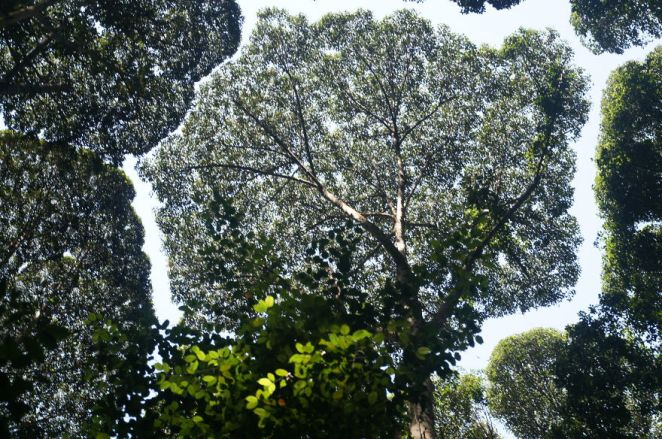 Forests Crown Shyness