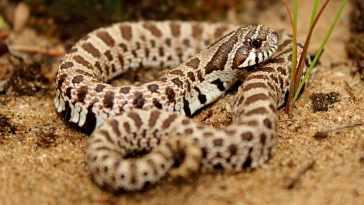 Hognose Snake