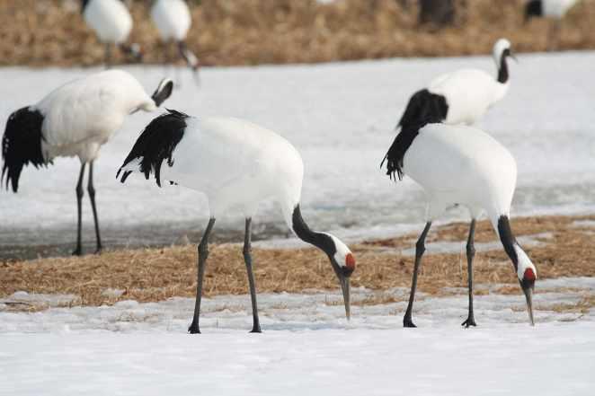 Hokkaido Birds