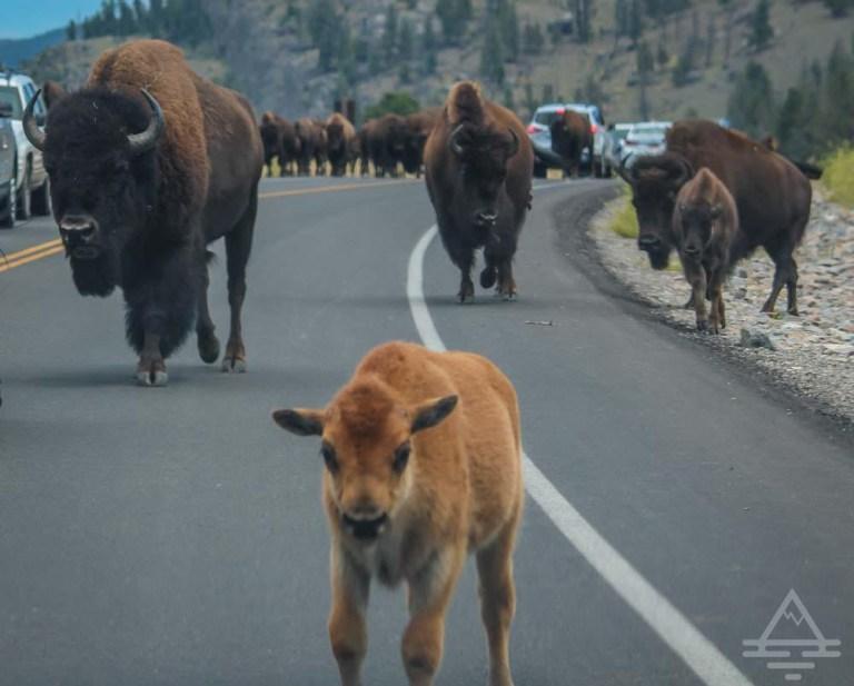 A baby buffalo
