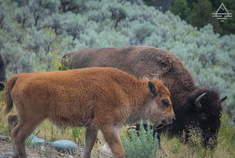 yellowstone-buffalo1-7-trip