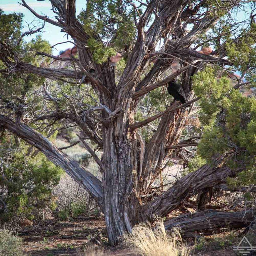 Tree on Balanced Rock Trail