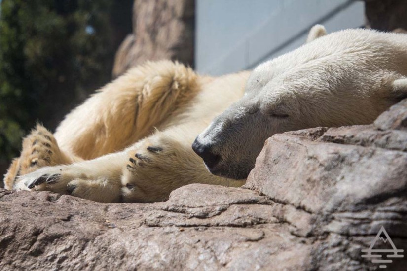 Polar Bear at the San Diego Zoo