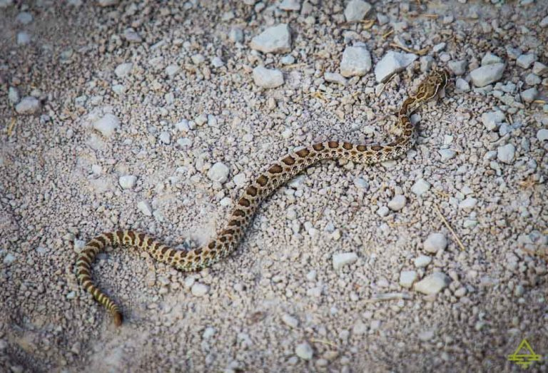 Badlands Rattlesnake