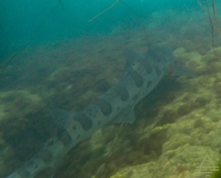 Leopard Shark in La Jolla