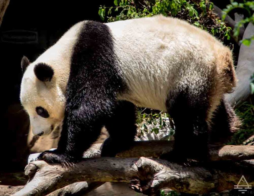 San Diego Zoo Inside Look Tour Panda
