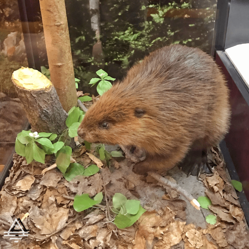 Exhibit with a beaver and leaves in the Rainy Lake Visitor Center