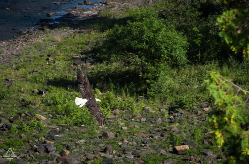 Bald Eagle Soaring at Kakabeka Falls in Ontario
