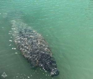 Florida Keys Manatee in the Water