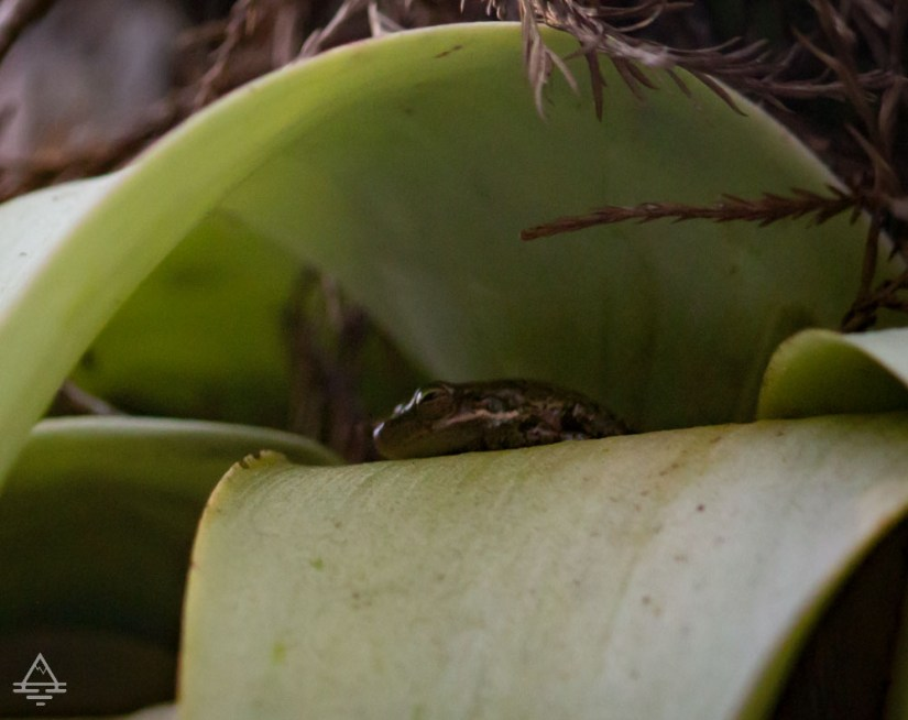 Small frog in the leaves in Evergladees National Park