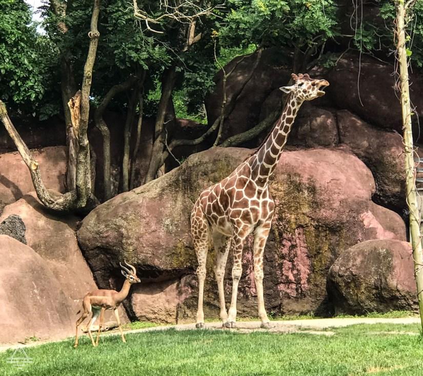 Giraffe and antelope at the zoo