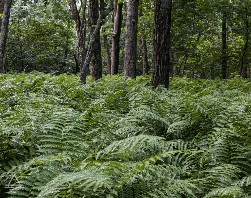 Ferns and trees in Shenandoah National Park
