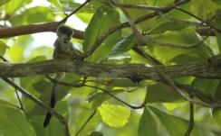 baby squirrel monkey 2, MA