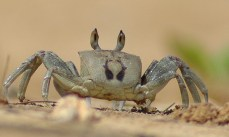 Ghost crab, Anini beach 2