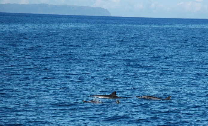 Spinner dolphins, Na Pali cruise