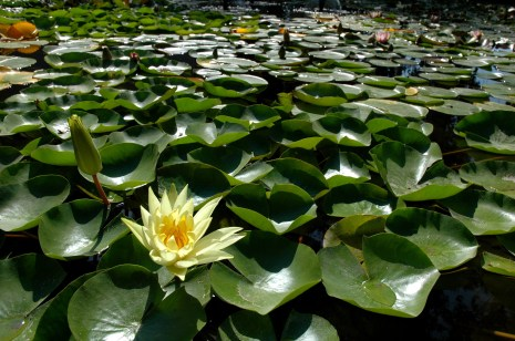 Water lilies say summer to me