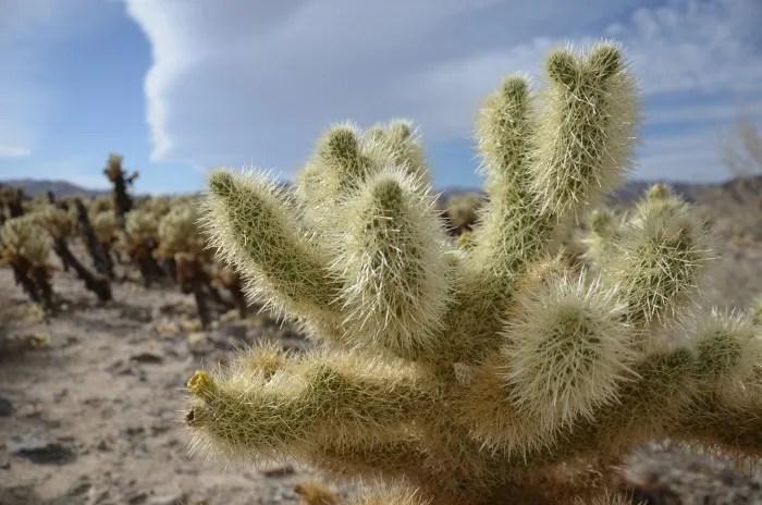 Joshua Tree National Park with Kids - Cholla Cactus Garden