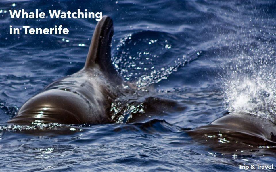Tenerife, whale watching, excursions, Spain, Canary Islands, Islas Canarias, excursiones, ballenas, delfines, dolphins, Playa de las Américas, España