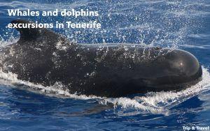Tenerife, whales and dolphins, trips, Playa de las Américas, watching, excursions, excursiones, ballenas, delfines, dolphins, Spain, Canary Islands, Islas Canarias