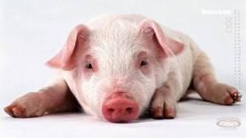 Pirotehnika je svinjama 'ljudarija' a ne 'svinjarija'