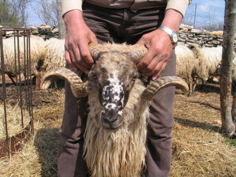 Podivljale ovce pustoše Zlarin: Grad Šibenik plaća 38.000 kuna za njihovo hvatanje