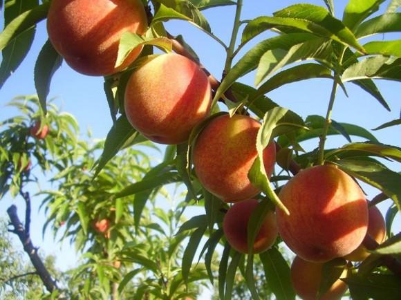 Breskve su ponos OPG Goluba (foto Agroklub)