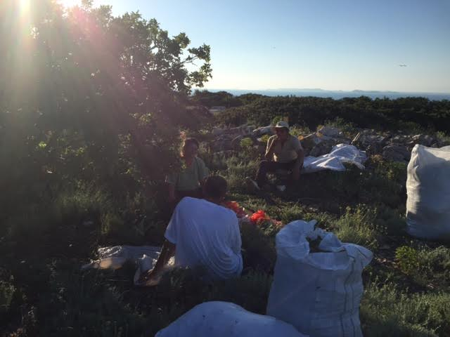 Rat za smilje seli u Skradin: Tri sestre u obrani šibenskog zlata