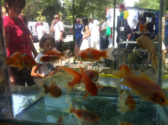 Knin iz riblje perspektive - foto TRIS/GŠ