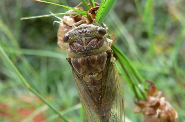 - Puka san ka cvrčak - rekli bi u Dalmaciji, ali ga ne bi pojeli (još) (foto Wikipedia)