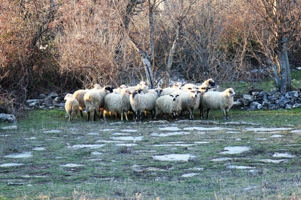 Ovce i ovce (Foto: Tris/H. Pavić)