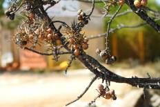 Ofurene bobice smreke (foto TRIS/G. Šimac)