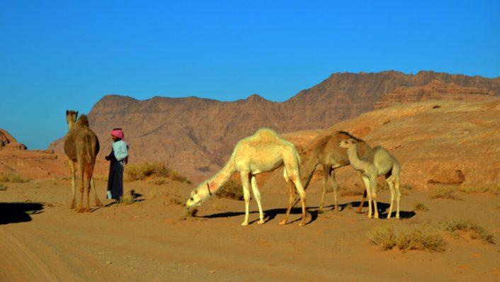 Beduin s devama. Uobičajni prizor u Wadi Rumu (foto: Joso Gracin Joka/Nina Živković)