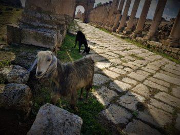 Klempava koza u drevnom gradu (foto TRIS/G. ŠIMAC)