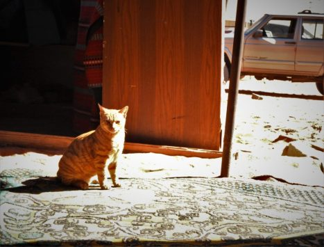Beduinska mačka u dokolici (foto TRIS/G. ŠIMAC)