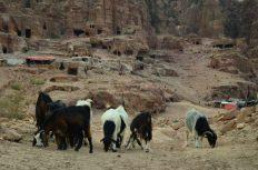 Beduinske koze podno kraljevskih grobnica (foto Joso Gracin Joka)