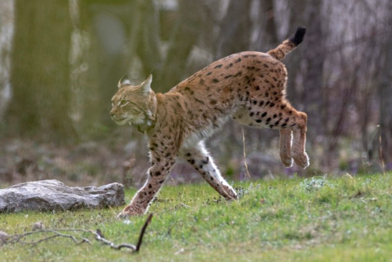 Leteći ris u gipkom skoku - foto: Goran Šafarek