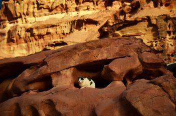 Beduinska mačka u pješčenjačkoj stijeni (foto Joso Gracin)