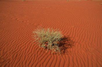 Pustinjski grm može godinama živijeti bez kiše (foto Joso Gracin)