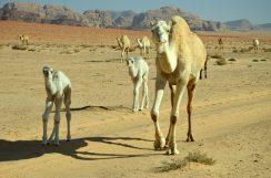 Stado deva u šetnji kroz pustinju (foto Joso Gracin)