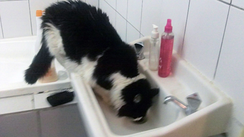 Electra (Black and White Cat) drinking in the basin