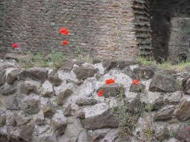 Poppies in the ruins in Rome.