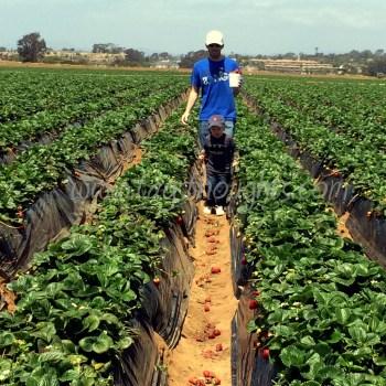 Carlsbad Strawberries by trishsutton.com