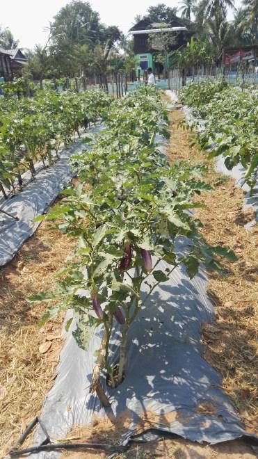 Aubergine crops