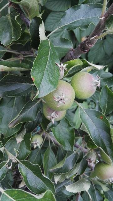 Cox's Orange Pippin Apple