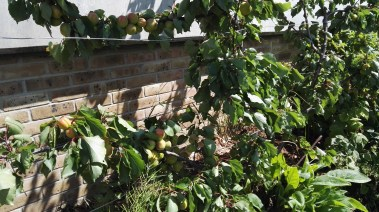Fruit Trees espaliered
