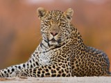 The Little Chief (Hosana, Sabi Sand Game Reserve, South Africa, 2018)
