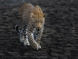 Life On The Scorched Earth (Hosana, Sabi Sand Game Reserve, South Africa, 2018)