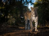 Proud Prince (Hosana, Sabi Sand Game Reserve, South Africa, 2019)
