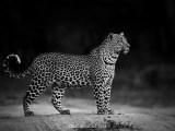 Standing Tall (Hosana, Sabi Sand Game Reserve, South Africa, 2017)