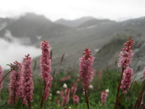 Magic Flowers in Indrahar Pass ~ Dhauladhar